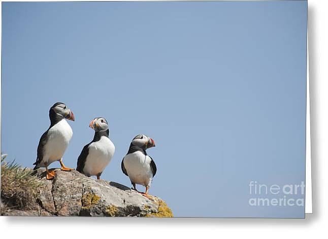 Seabirds Greeting Cards - All Lined Up Greeting Card by Anne Gilbert