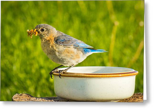 Feeding Birds Greeting Cards - All You Can Eat Bluebird Buffet Greeting Card by Bill Pevlor