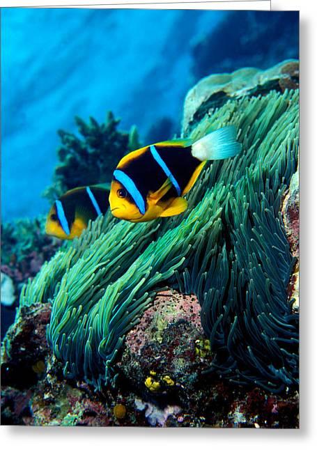 Anemonefish Greeting Cards - Allards Anemonefish Amphiprion Allardi Greeting Card by Panoramic Images