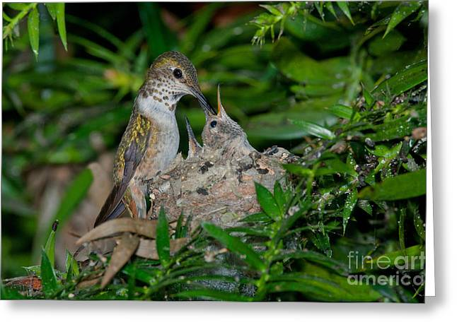 Fed Greeting Cards - Allens Hummingbird Feeds Young Greeting Card by Anthony Mercieca