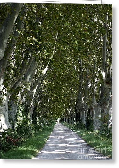 South Of France Photographs Greeting Cards - Alley of plane trees. Provence. France Greeting Card by Bernard Jaubert
