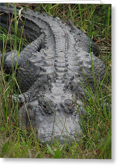 Bask Greeting Cards - Alligator 0089 Greeting Card by Rudy Umans