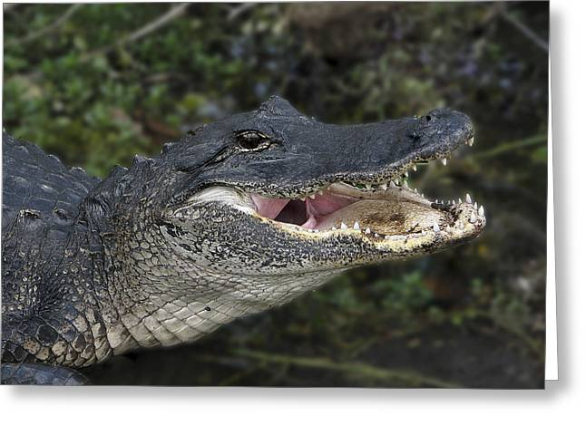 Florida Gators Greeting Cards - Alligator 1 Greeting Card by Rudy Umans