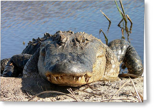 Al Wild Card Greeting Cards - Alligator Approach Greeting Card by Al Powell Photography USA