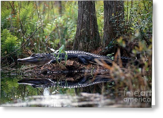 Alligator In Okefenokee Swamp Greeting Card by William H. Mullins