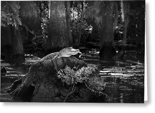 Swampland Greeting Cards - Alligator in the Louisiana Bayou Greeting Card by Mountain Dreams