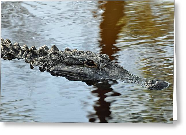 Reflection In Water Greeting Cards - Alligator on Jekyll Island Greeting Card by Bruce Gourley