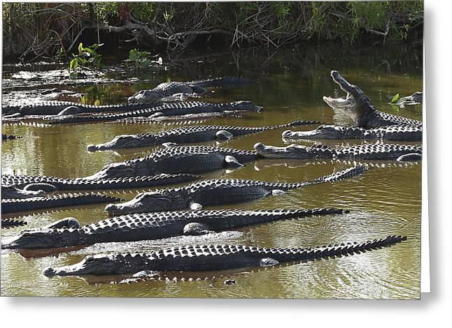 American Alligator Greeting Cards - Alligators 8 Greeting Card by Rudy Umans