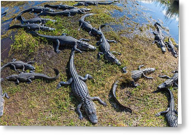 Florida Wildlife Photography Greeting Cards - Alligators Along The Anhinga Trail Greeting Card by Panoramic Images