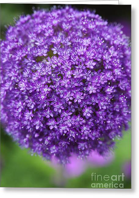 Emerging Greeting Cards - Allium Ambassador Greeting Card by Tim Gainey