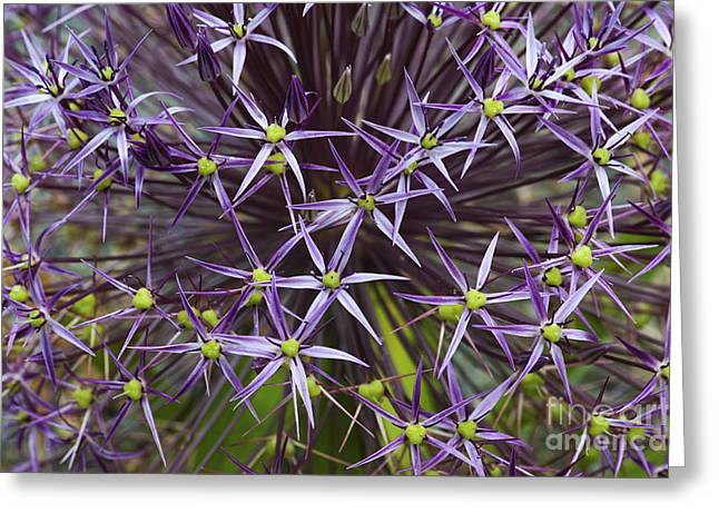 Star Shape Greeting Cards - Allium Christophii Flower Pattern Greeting Card by Tim Gainey