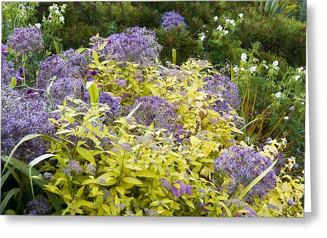 Spirea Greeting Cards - Allium cristophii and Spirea japonica Greeting Card by Science Photo Library