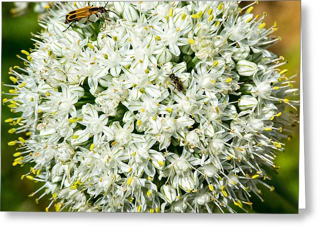 Flower Anthers Greeting Cards - Allium Flower and Lightning Bug Greeting Card by Douglas Barnett