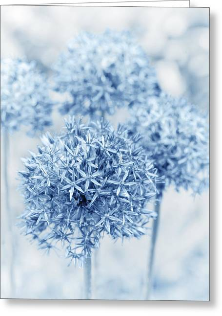 Alliums Greeting Cards - Allium Greeting Card by Frank Tschakert