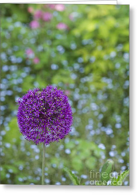 Purple Sensation Greeting Cards - Allium Hollandicum Purple Sensation Flower Greeting Card by Tim Gainey