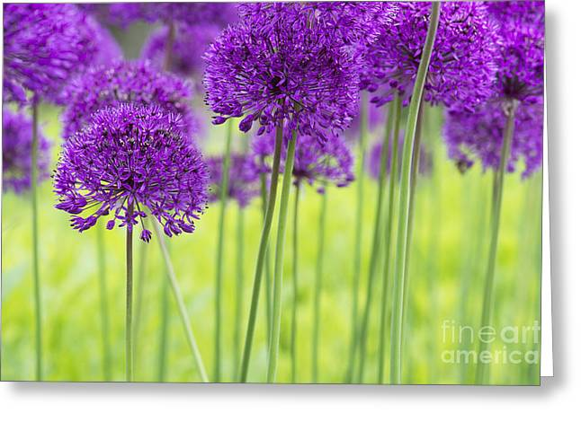 Purple Sensation Greeting Cards - Allium Hollandicum Purple Sensation Flowers Greeting Card by Tim Gainey