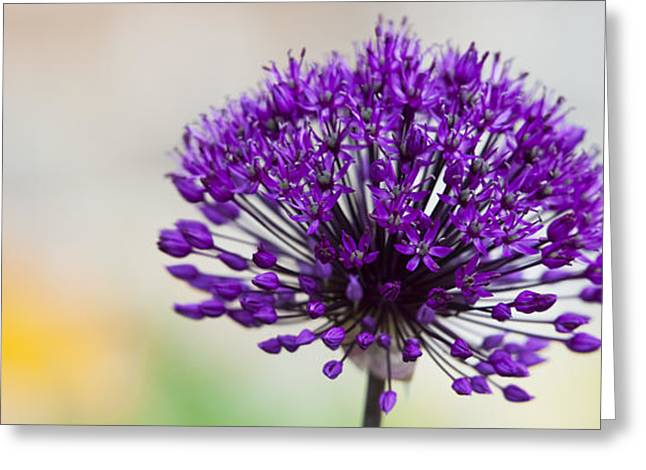 Purple Sensation Greeting Cards - Allium hollandicum Purple Sensation Panoramic Greeting Card by Tim Gainey