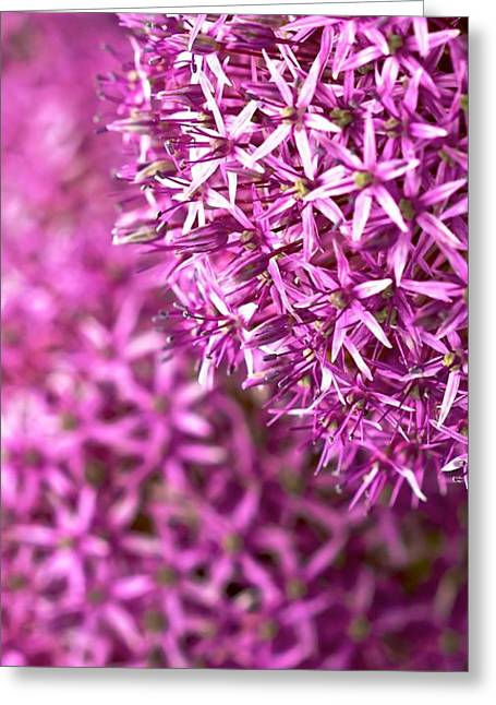 Allium Hollandicum Greeting Cards - Allium Hollandicum Purple Sensation  Greeting Card by Peter Jed