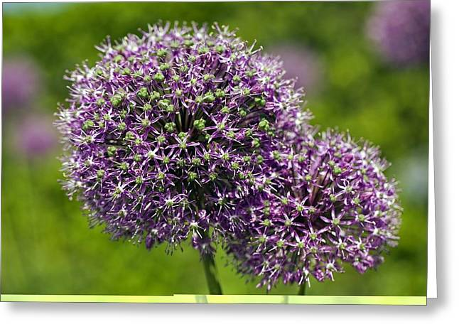 Purple Sensation Greeting Cards - Allium hollandicum Purple Sensation Greeting Card by Science Photo Library
