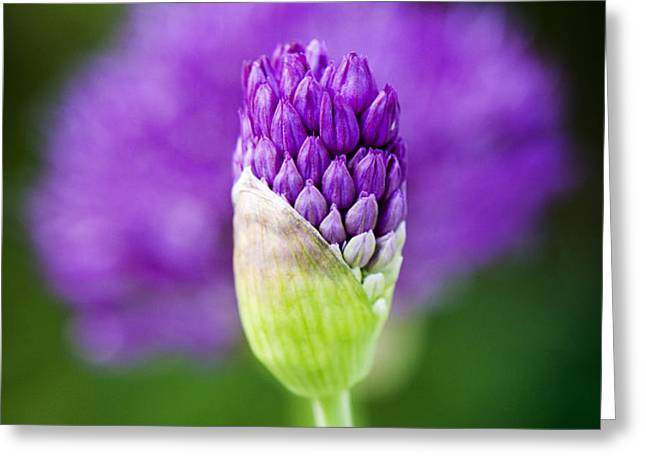 Allium hollandicum Purple Sensation Greeting Card by Tim Gainey