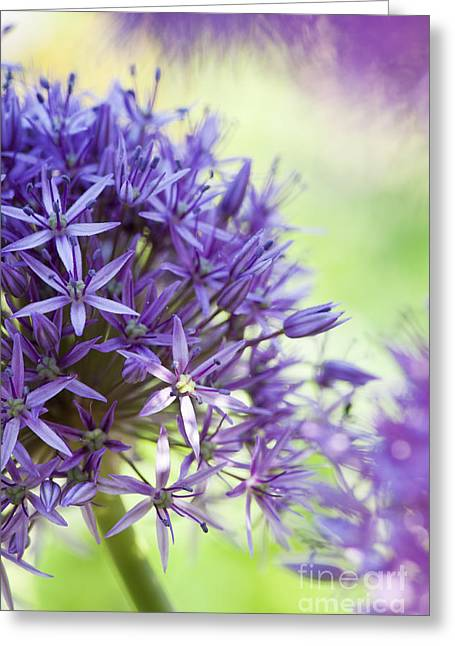 Purple Sensation Greeting Cards - Allium Hollandicum  Greeting Card by Tim Gainey