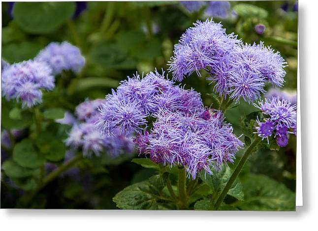Purple Sensation Greeting Cards - Allium Purple Sensation Greeting Card by Gene Sherrill