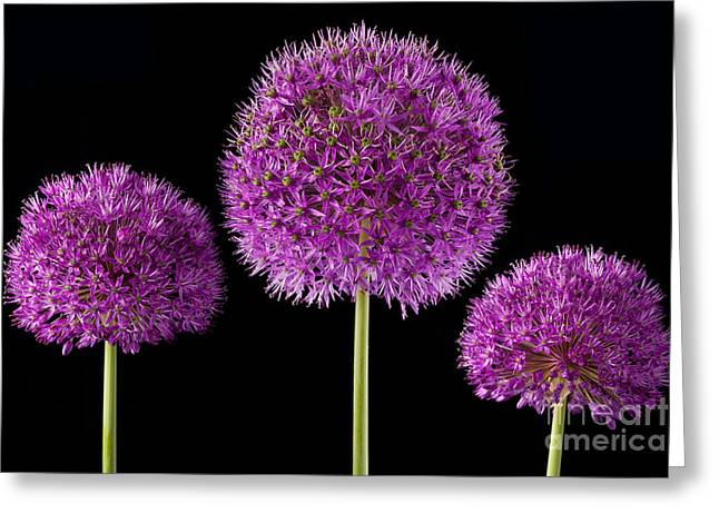 Alliums Greeting Cards - Allium Trio Greeting Card by John Edwards