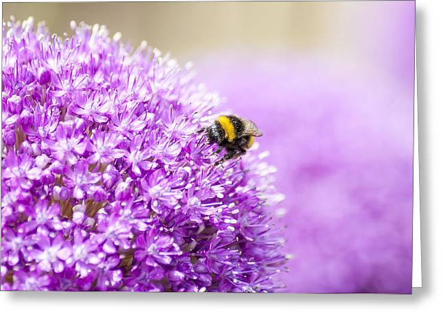 Purple Sensation Greeting Cards - Allium with Bee Greeting Card by Chay Bewley