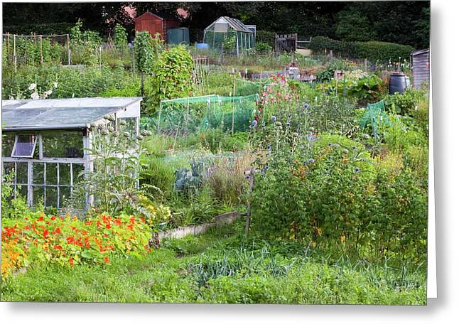 Allotments Greeting Card by Ashley Cooper