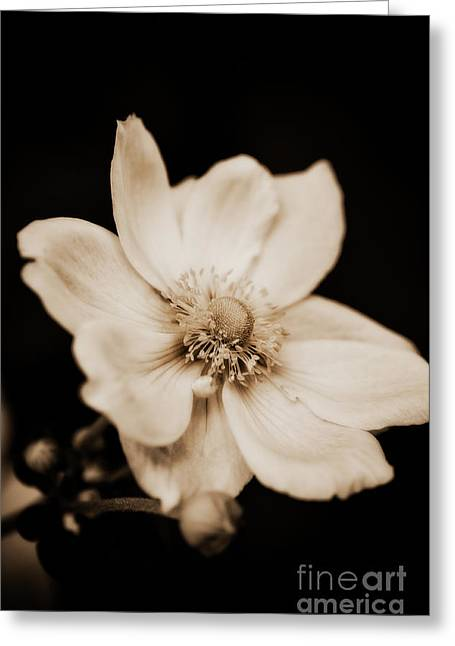 Van Dusen Botanical Garden Greeting Cards - Alluring Anemone Greeting Card by Venetta Archer