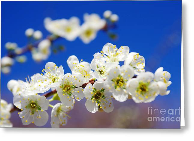 Japanese Landscape Greeting Cards - Almond Blossom Greeting Card by Carlos Caetano