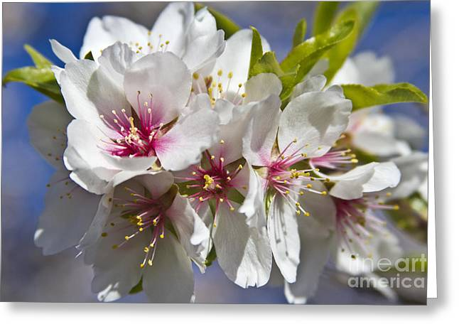Biological Greeting Cards - Almond Blossoms Greeting Card by Heiko Koehrer-Wagner