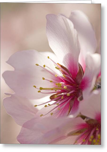Dappled Light Greeting Cards - Almond (prunus Dulcis) Greeting Card by Power And Syred