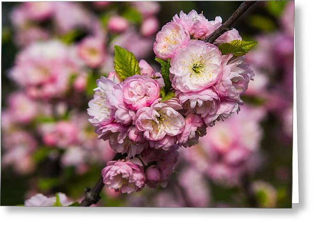 Pink Flower Branch Greeting Cards - Almond tree in bloom - Featured 3 Greeting Card by Alexander Senin