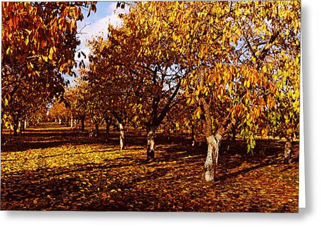 Orchard Greeting Cards - Almond Trees During Autumn In An Greeting Card by Panoramic Images