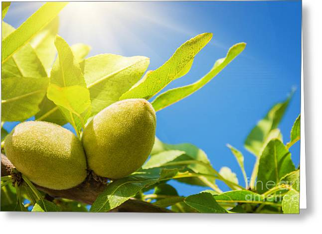 Sunny Photographs Greeting Cards - Almonds Greeting Card by Carlos Caetano