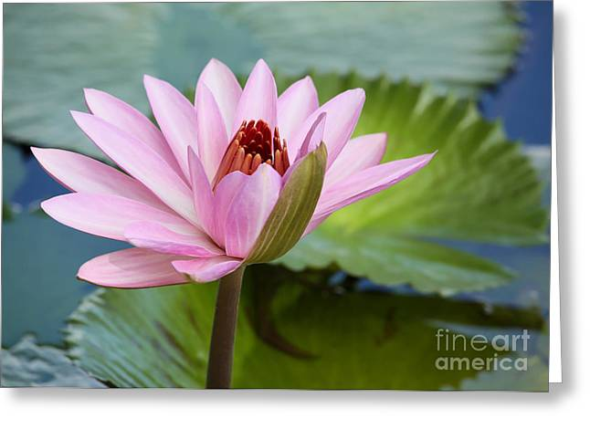 Hawaiian Pond Greeting Cards - Almost in Full Bloom Greeting Card by Sabrina L Ryan