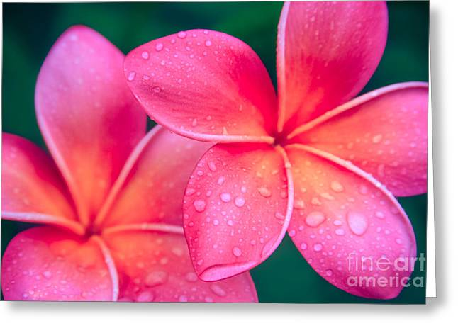 Tropical Flowers Of Hawaii Greeting Cards - Aloha Hawaii Kalama O Nei Pink Tropical Plumeria Greeting Card by Sharon Mau