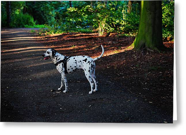 Gun Dog Greeting Cards - Alone in the Woods. Kokkie. Dalmatian Dog Greeting Card by Jenny Rainbow