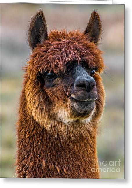 Alpacas Greeting Cards - Alpaca Close-up on Utah Farm Greeting Card by Gary Whitton