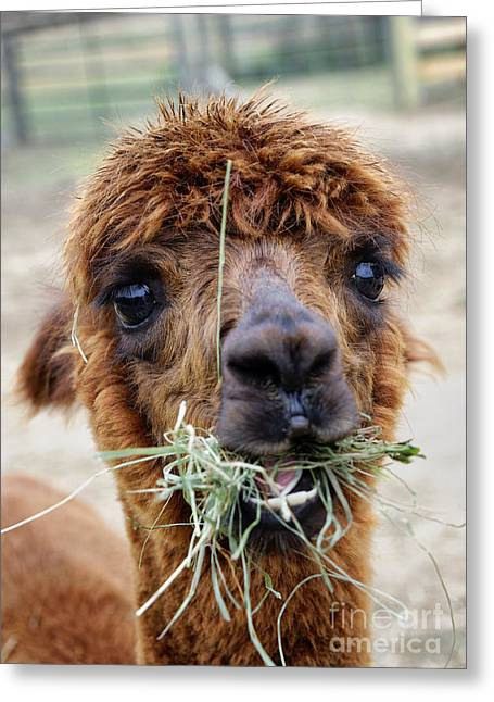 Alpacas Greeting Cards - Alpaca  Greeting Card by John Greim