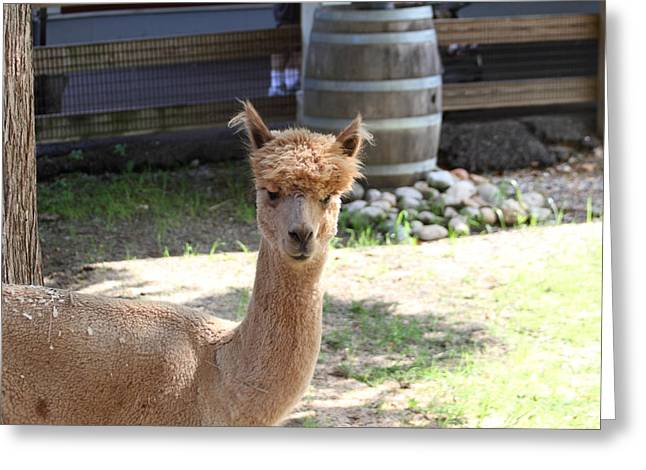Alpacas Greeting Cards - Alpaca - National Zoo - 01131 Greeting Card by DC Photographer