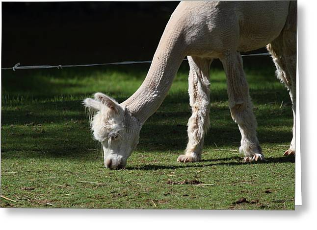 Alpacas Greeting Cards - Alpaca - National Zoo - 01134 Greeting Card by DC Photographer