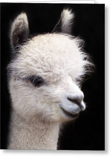 Alpaca Greeting Cards - Alpaca Platinum Blond Greeting Card by Terril Heilman