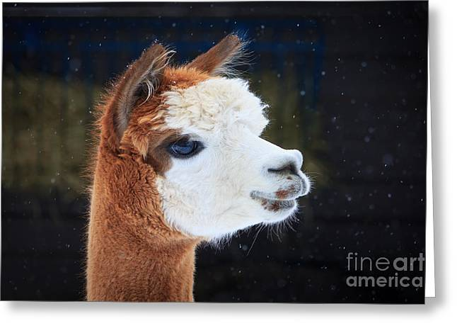 Brook Pyrography Greeting Cards - Alpaca Profile Greeting Card by Rebecca Brooks