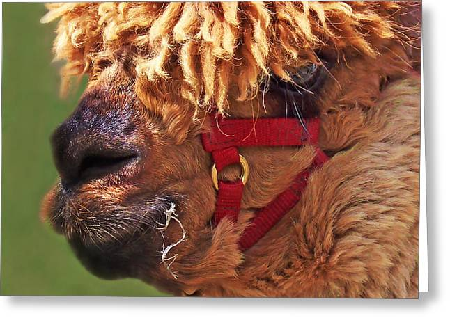 Outsider Photographs Greeting Cards - Alpaca Punk Greeting Card by Terril Heilman