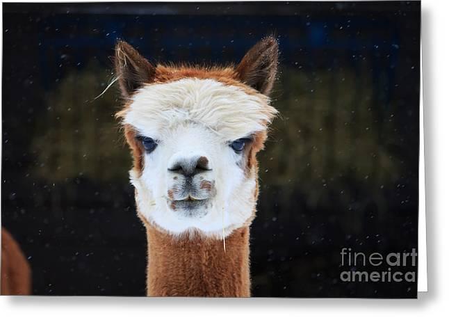 Rosamond Greeting Cards - Alpaca Greeting Card by Rebecca Brooks