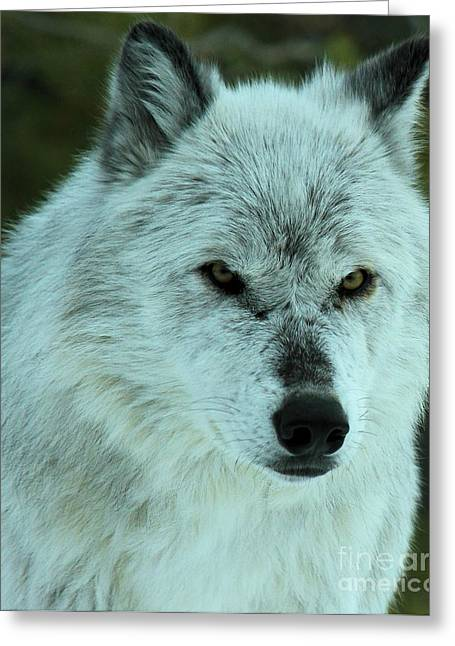 Alpha Wolf Greeting Cards - Alpha Gaze Greeting Card by Adam Jewell