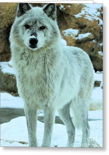 Alpha Wolf Greeting Cards - Alpha Girl Greeting Card by Adam Jewell