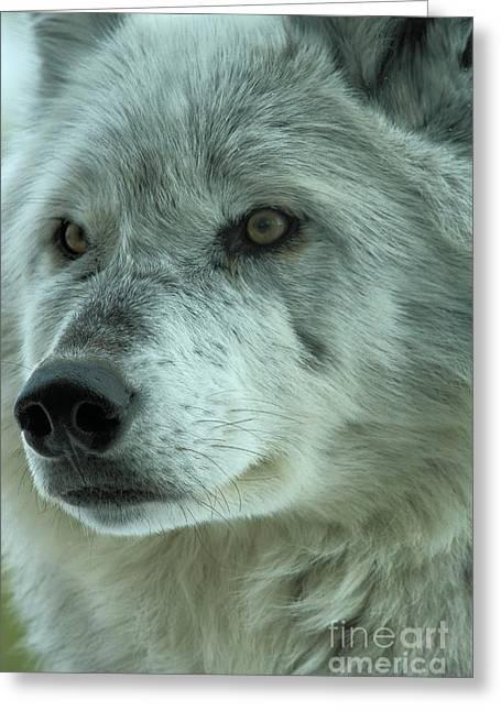 Alpha Wolf Greeting Cards - Alpha Girl Closeup Greeting Card by Adam Jewell